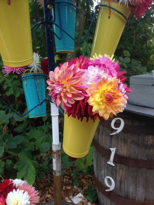 colored dahlias in a bucket