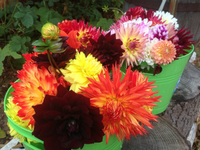 Buckets of dahlia flowers